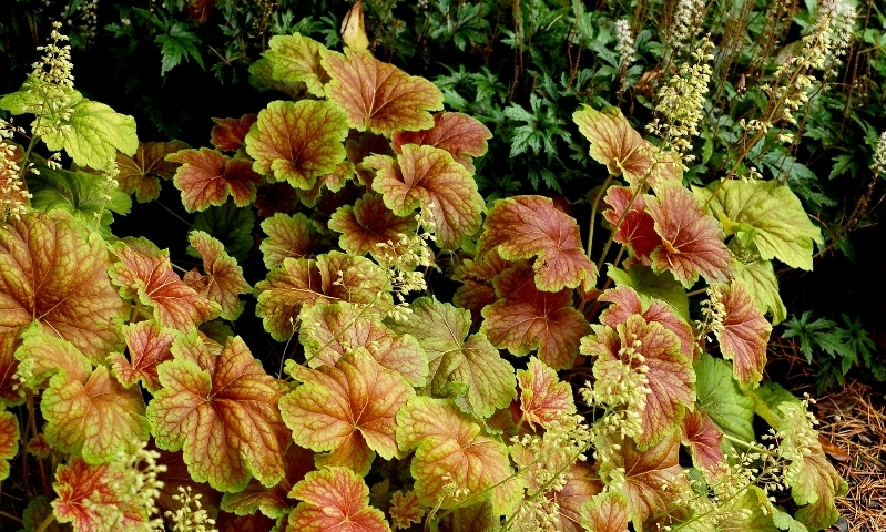 Heuchera Delta Down