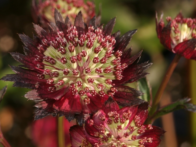 Astrantia Moulin Rouge®