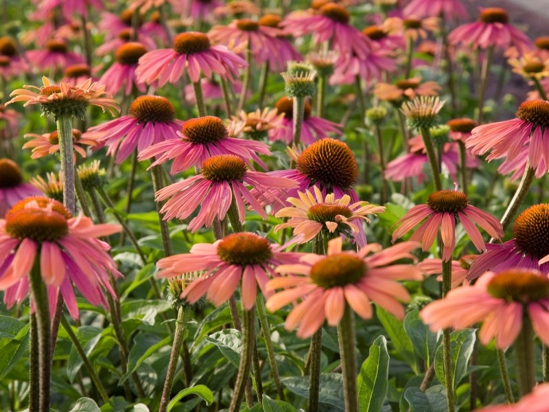 Echinacea Summer Coctail®
