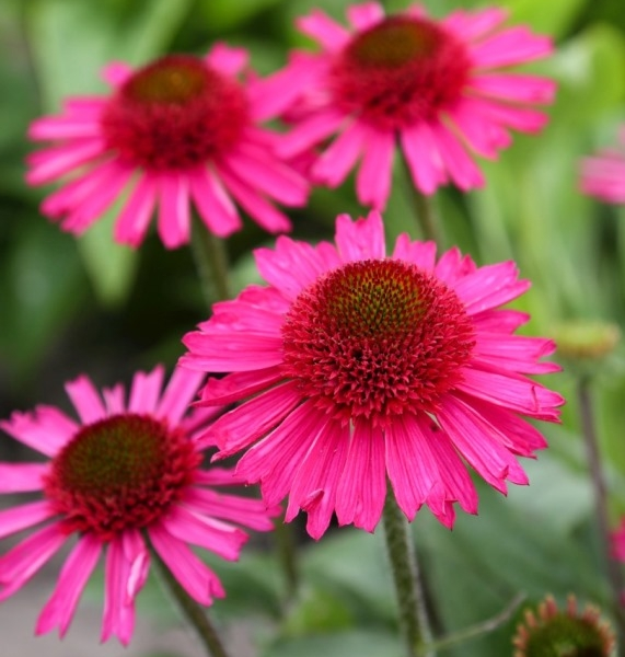 Echinacea Delicious Candy®