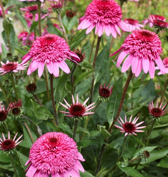 Echinacea Summer Candy®