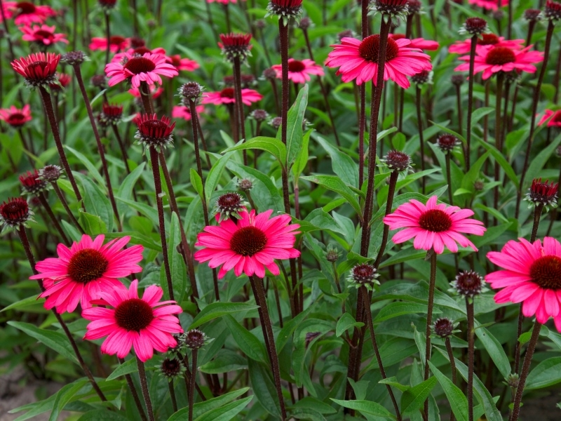 Echinacea Summer Cloud®
