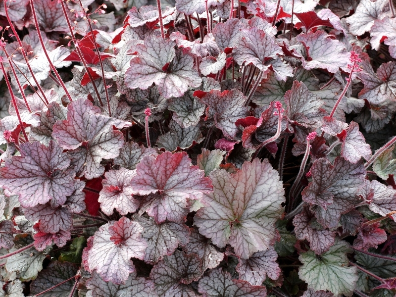 Heuchera NOTHERN EXPOSURE™ Silver