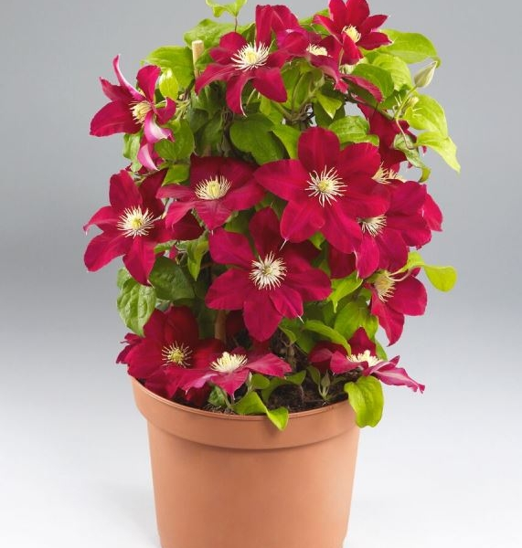 Clematis Issey™