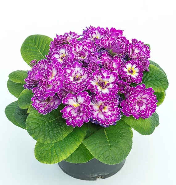 Primula Belarina Purple Dawn