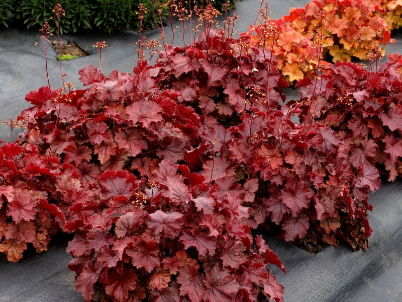 Heuchera NORTHENR EXPOSURE™ Red
