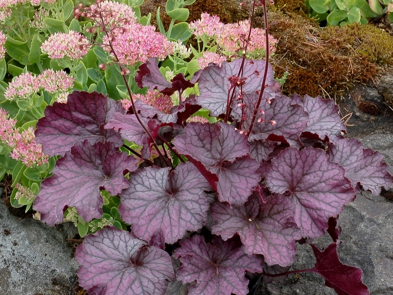 Heuchera NORTHERN EXPOSURE™ Purple