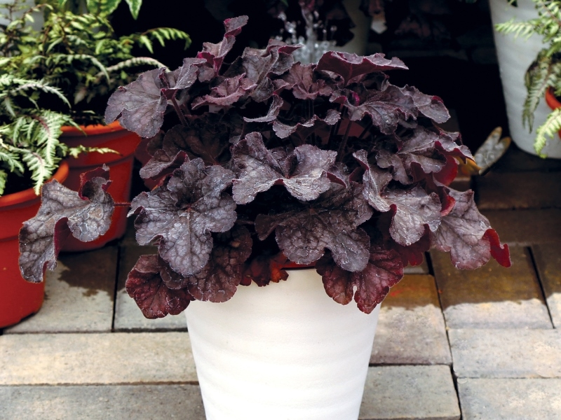 Heuchera GRANDE™ Black