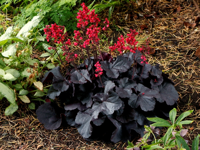 Heuchera Black Forest Cake