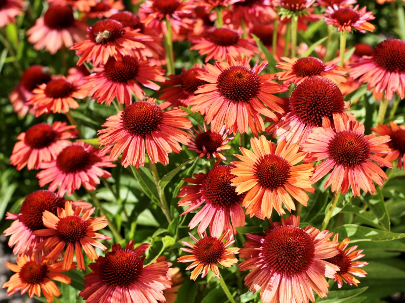 Echinacea Meditation Orange®