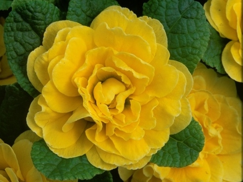Primula Belarina Butter Yellow