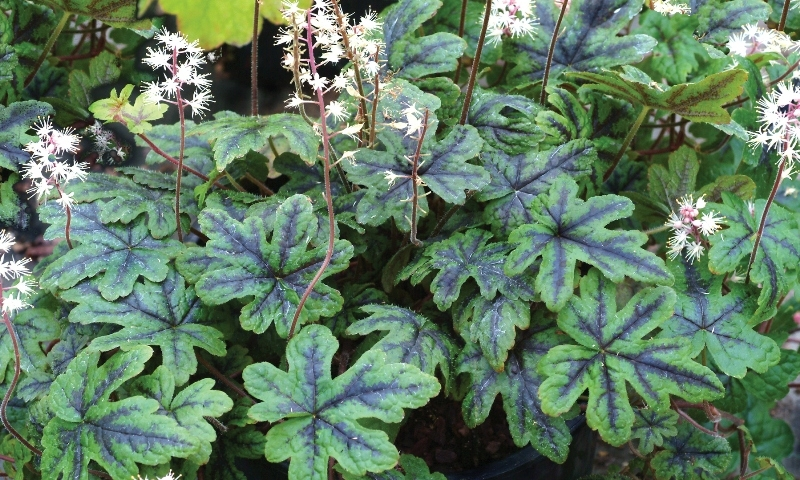 Tiarella Happy Trails