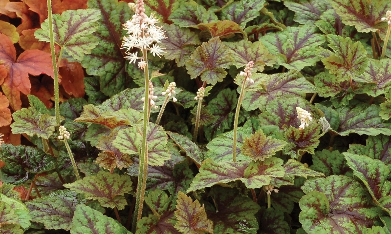 Tiarella Sunset Ridge
