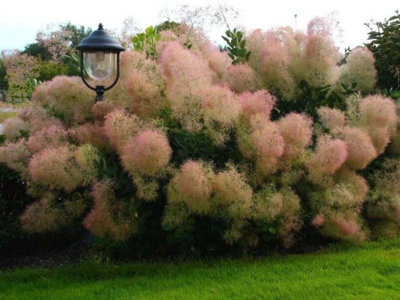 Cotinus Young Lady PBR EU2402